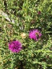 (delijesever1993@ymail.com) Tags: f18 iphonephoto pcele purple nofilter iphone7 flowers bee