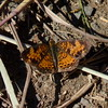 Pearl Crescent (Dendroica cerulea) Tags: pearlcrescent phyciodestharos phyciodes nymphalinae nymphalidae papilionoidea lepidoptera insecta hexapoda arthropoda butterfly insects invertebrate autumn lordstirlingpark baskingridge somersetcounty nj newjersey