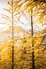 DSC08326 (www.mikereidphotography.com) Tags: larches fallcolors autumn canada canadianrockies lakemoraine larchvalley sentinelpass 85mm otus zeiss mirrorless a7r2 landscape golden