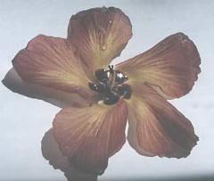 hibiscus.tiliaceus.flower.1 (dave.kimble) Tags: hibiscustiliaceus coastcottonwood cottonwoodhibiscus hibiscus malvaceae arfp nswrfp qrfp nfrfp lhrfp vrfp littoralarf riparianarf arfflowers maroonarfflowers