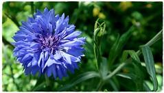 Die Blaue - hard crop - 3200 x 1800 macro G7XII - Macro Experiments (eagle1effi) Tags: canonpowershotg7xii canon powershot g7 x ii g7xii mark2 markii steiner blumenparadies tannenweg4 park beate christoph closer g7macro bestof eagle1effi expert camera 1 canonpowershotg7xmarkii g7xiimacro blaueblume blue flower romantik sehnsucht diefarbeblau experiment versuch test review flor azul florazul il fiore azzurro ilfioreazzurro kornblume centaureacyanus inspiration for german romantic symbol ❁ŧєℓιz qυιηтα ŧℓσwєг ❀ ŧєℓιz jυєѵєs ¢ση ŧℓσґєs ❁ quinta flowers flora blume blumen macro