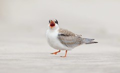 Common Tern juvi Nickerson beach ny. (mandokid1) Tags: canon ef400mmdoii 1dx birds terns nickerson