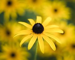 Flowers (rickmcnelly) Tags: flower gx8 rollei carl zeiss planar 50mm18 rolleicarlzeissplanar50mm18