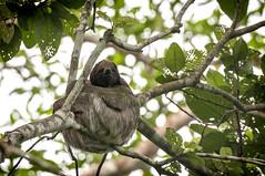 Nicaragua -Centro Ecologico Los Guatuzos: sloth (Exper!ence it) Tags: nicaragua centro ecologico los guatuzos nature rainforest birds sloth animals beauty nikond300 80400mm