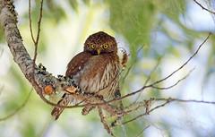 Northern pygmy owl (Thy Photography) Tags: northernpygmyowl backyard california raptor owl nature photography outdoor wildlife