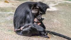 Mangabey Mother & Baby (spierson82) Tags: tropicworld mangabey kiwi monkey czs chicagozoologicalsociety baby primate zingo zoo lophocebusaterrimus blackcrestedmangabey oldworldmonkey brookfieldzoo mother animal animalplanet