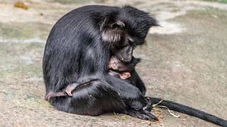 Mangabey Mother & Baby