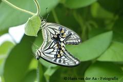 Limoenvlinder (Papilio Demoleus) (hansvdaa) Tags: 2017 paring vlinder butterfly animals papiliodemoleus limoenvlinder