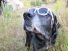 32/52/17 Fabulous, simply fabulous! (Hodgey) Tags: dog josh swag sunglasses lab 52weeksfordogs
