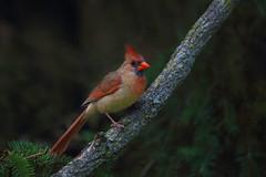 Northern Cardinal (female) (ashockenberry) Tags: ontariowildlife ontarionature outdoor bird beauty cardinal northern perch female ornithology
