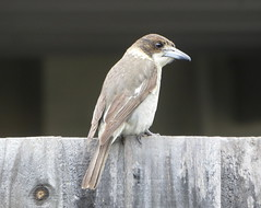 Fence Sitter (The Pocket Rocket, On and Off.) Tags: greybutcherbird cracticustorquatus mygarden oceangrove victoria australia immature