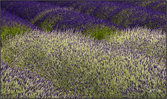 Color. Part .6. (Picture post.) Tags: nature green summertime lavender flowers