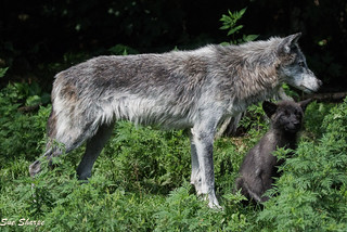 Alpha Female with one of her Pups