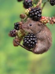 Hang on buddy! (susie2778) Tags: olympus omdem1mkii 60mmmacrof28 bankvole blackberries macro mft millerswood johnstantonphotographycouk johnstantonphotography olympusm60mmf28macro
