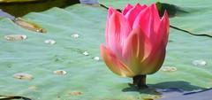 National Flower (Nelumbo nucifera)....explored! (ranju10) Tags: flower ameenpur telengana india nationalflower hyderabad ranju fuji finepixhs20 hs20exr nelumbonucifera lotus explored