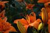 DSC_2808_ (sir.yoga) Tags: flowers easternsiberia russia bratsk