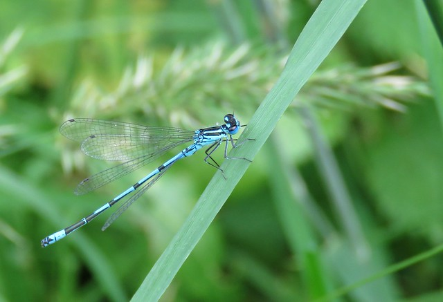Blue Damsel!