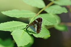 Kleiner Eisvogel (Aah-Yeah) Tags: kleiner eisvogel white admiral limenitis camilla schmetterling butterfly tagfalter marquartstein achental chiemgau bayern