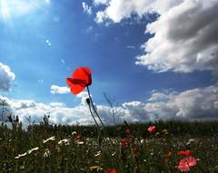 Field of joy (Schagie) Tags: zon sun klaproos bloemen flowers stralen veld field beams rays blue blauw lucht clouds sky wolken zomer holland