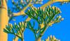Agave americana (Carl Cohen_Pics) Tags: agaveamericana centuryplant nature agave desert flora arizona southwest spring canon canon7dmarkii sigma105mmf28exdgoshsmmacrolens macro macrophotography