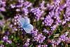 Blåvinge (evisdotter) Tags: blåvinge commonblue polyommatini fjäril butterfly insect nature ljung heather flowers colors macro bokeh sooc