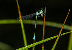 Blue-tailed damselfly, male,  Modri kresničar 2 (Bojan Žavcer) Tags: bluetaileddamselfly modrikresničar damselfly dragonfly insect animal wildlife nature macro closeup blue green red colorful detail eye fauna garden buzz bright beauty chaser delicate depthoffield restring summer wing dater bug abstract color creature fly leaf life outdoor plant spring water white wild amazing flight enviromant sonyilce7r 105mmf28