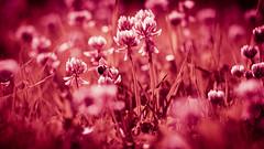Crimson and Clover (ursulamller900) Tags: pentacon28100 clover klee crimson bokeh bee biene insekt flower