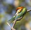 Chestnut-headed Bee-eater 6 (GaryKurtz) Tags: chestnutheadedbeeeater birdsofthailand garykurtzbirdphotos birdingkolanta