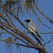 Australasian Black Faced Cuckoo Shrike