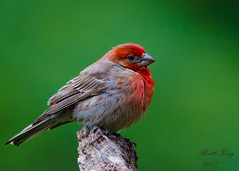 House Finch - portrait (dbking2162) Tags: birds bird nature nationalgeographic wildlife finch house indiana red green portrait