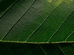 Green leaf details (Ciddi Biri) Tags: detail leaf macro lines background nature freshleaf plant tree cell photosynthesis green darkgreen pattern texture wallpaper omdem10 olympus60mmf28 m43turkiye