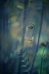 ready, steady, ... (christian mu) Tags: flowers bokeh nature spring germany münster muenster botanicalgarden botanischergarten schlossgarten christianmu sonya7ii sony zeiss batis batis8518 85mm 8518