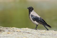 Corneille mantelée (Tifaeris) Tags: corneillemantelée corvidés corvuscornix hoodedcrow passériformes suède vänersborg bird oiseau