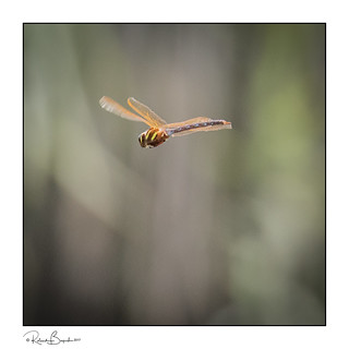 Orange glow - Common Hawker dragonfly catches the light in flight