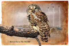 Barred Owl at The Old Mill: A Story Illustration (Johnrw1491) Tags: short story owls digital fine art illustrations nature notes bend oregon behavior wildlife composite birders
