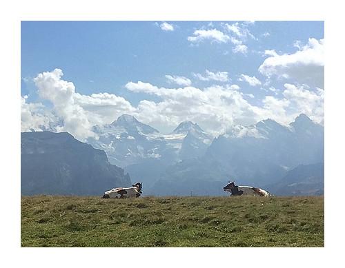 Vaches débattant du réchauffement climatique