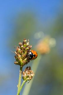 Ladybug   Marienkäfer