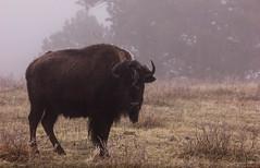 SD Custer (brettdoran) Tags: bison buffalo fog custer national park animal photography canon rebel t2i adventure south dakota spring break wanderlust