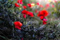 Campo di papavero (SDB79) Tags: fiori campo papaveri rosso verde natura flora