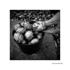 from the garden.... (bevscwelsh) Tags: potatoes garden homegrown organic fujifilmx100f