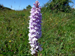 GOC Ashridge & Ivinghoe 086: Common spotted orchid