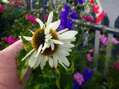 Mutant Echinacea (I Flickr 4 JOY) Tags: garden flowers flower mutant squamish raisedgarden echinacea
