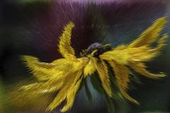 The Hippy Hippy Shake (Shastajak) Tags: rudbeckia blackeyedsusan flower mygarden photoshopcc layers filters colours sliderssunday