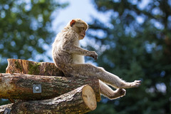 Berberaffe / Barbary macaque (DrTeNFeet) Tags: affe ape berberaffe primat barbary macaque givskud zoo denmark dänemark dk braun brown wildlife natur nature tier tiere animal animals sitzen sit