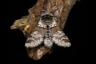 Sallow kitten moth (Furcula furcula) against black