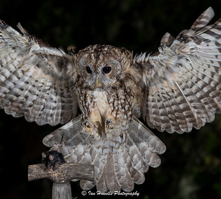 In coming Tawny owl