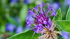 Flower - 3527 (YᗩSᗰIᘉᗴ HᗴᘉS +7 000 000 thx❀) Tags: flower macro hensyasmine bokeh bokehlicious beyondbokeh green purple violet flora fleur