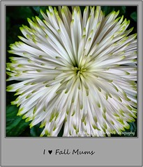 Chrysanthemum 07 (M.J.Woerner) Tags: november fallmums asteraceae chrysanths autumcolors postermums chrysanthemum autumflower