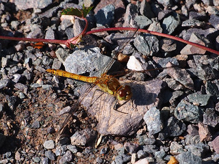 dragonfly on the rocks