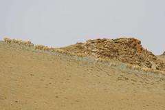 IMG_0442 (y.awanohara) Tags: antelope tibet tibetanantelope may2017 ngari